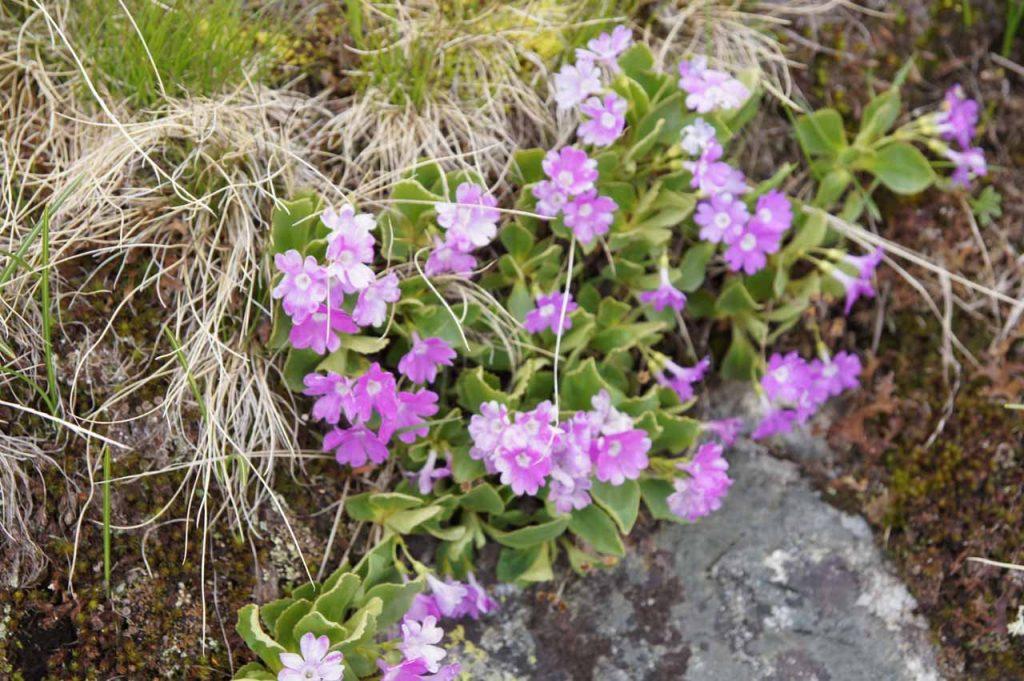 Franse alpen bloemen