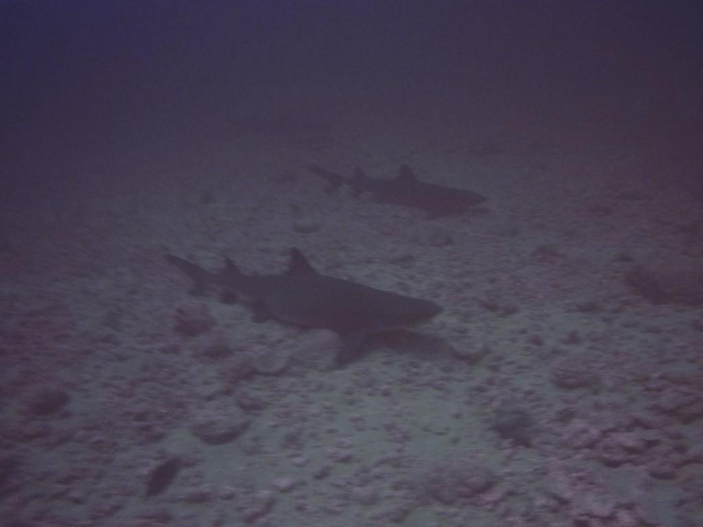 Isla Coiba haai
