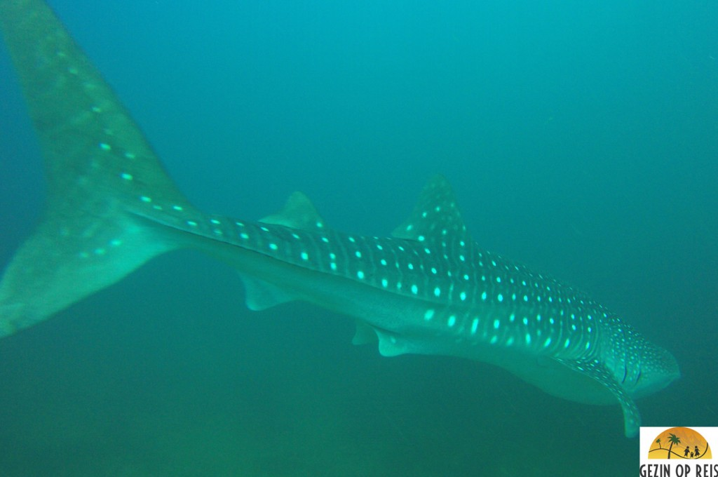whaleshark panama