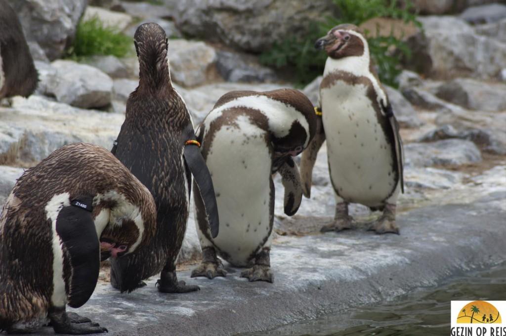 pinguins belgie