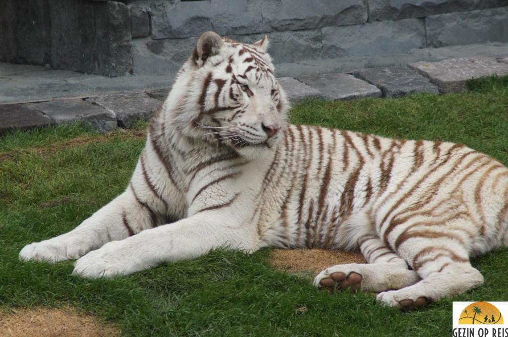 Pairi Daiza witte tijger
