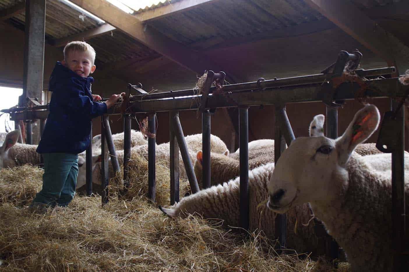 Lammetjes knuffelen op Texel