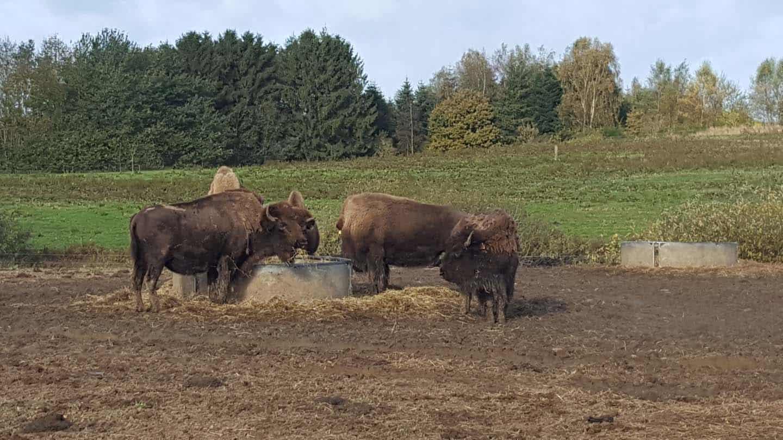 bisonfarm denemarken