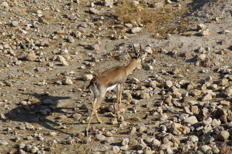 dieren woestijn in israel