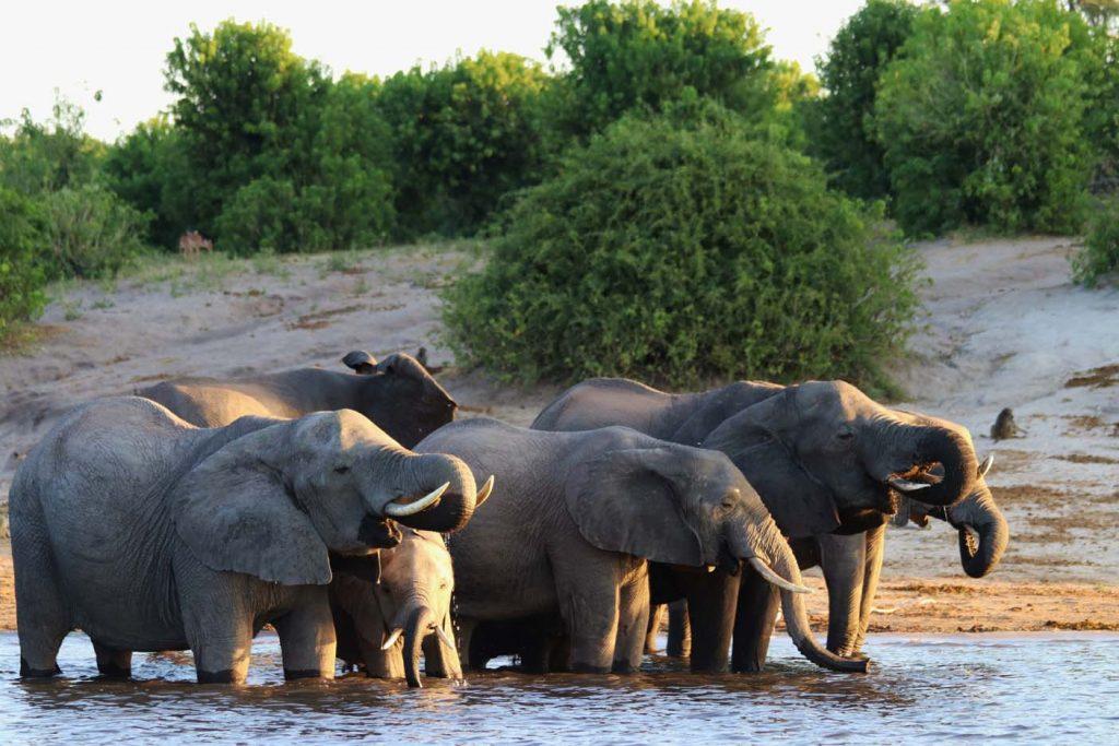 Chobe National Park olifanten