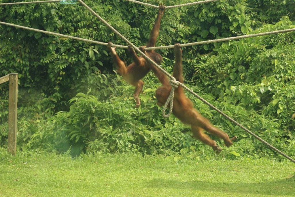 Sepilok orang-oetan rehabilitatiecentrum