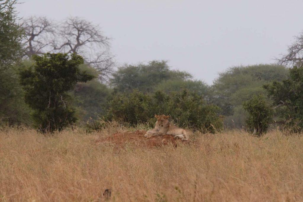 safari tanzania leeuw