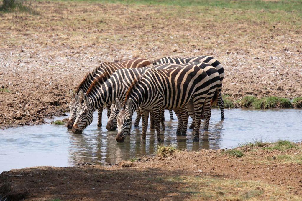 safari tanzania zebra