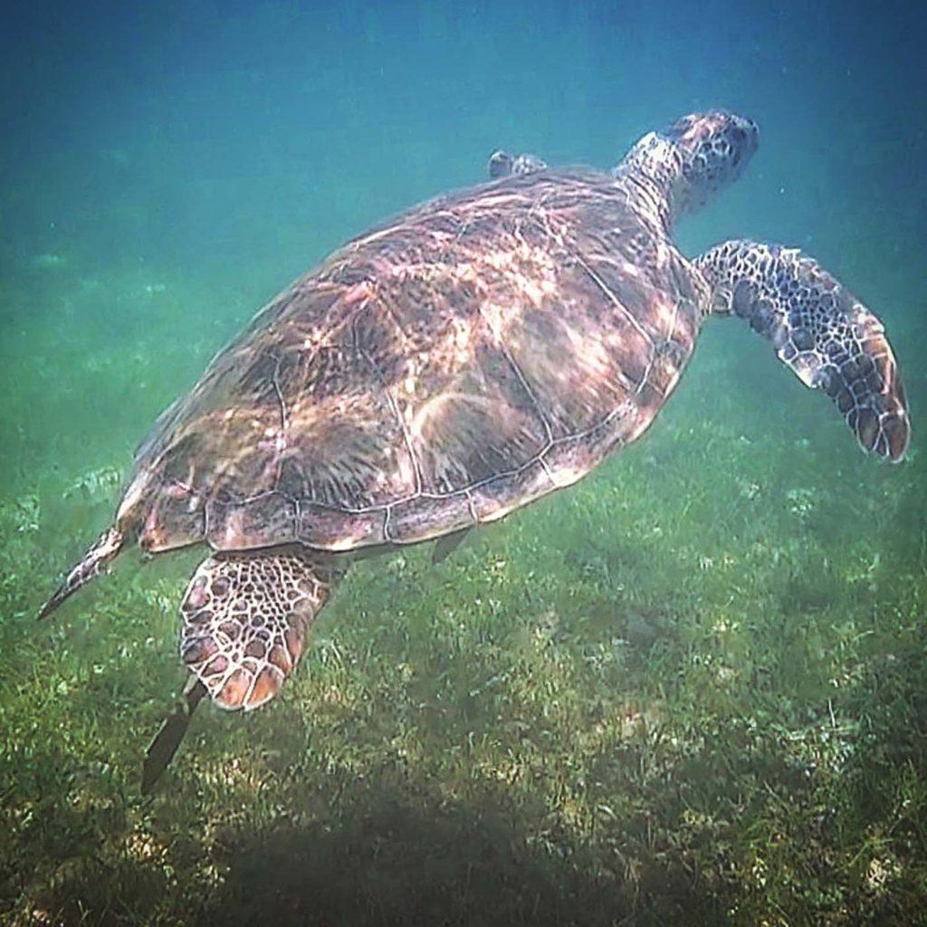 zwemmen schildpadden akumal