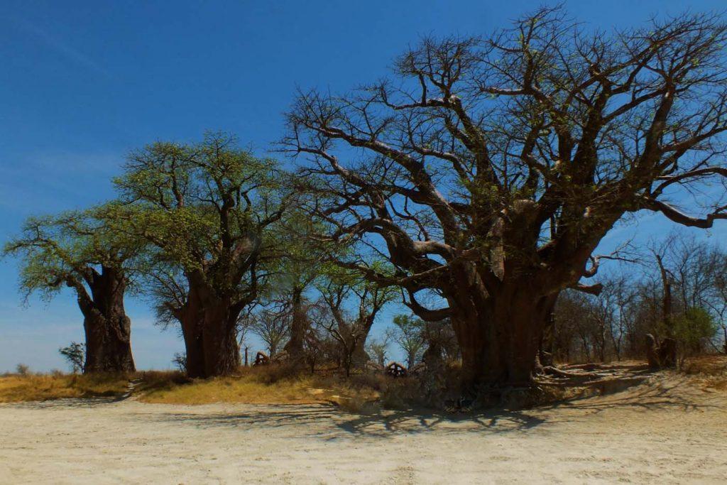 Nxai Pan National Park baobabs
