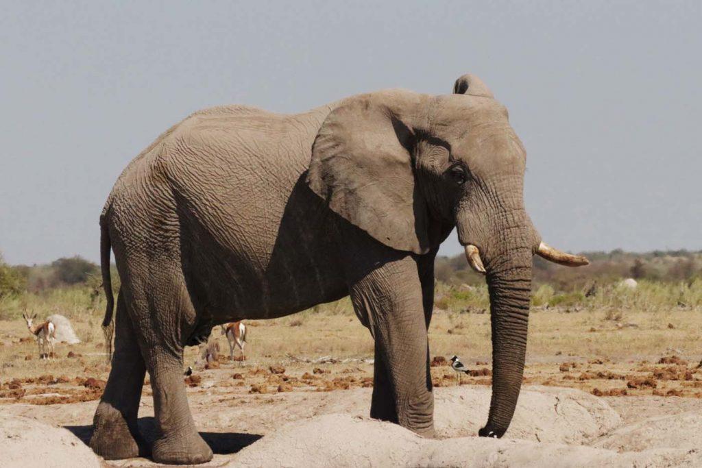 Nxai Pan National Park dieren olifant