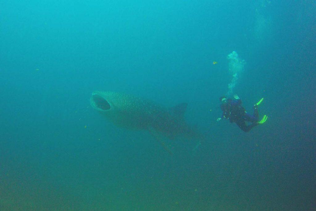 Zwemmen walvishaaien panama