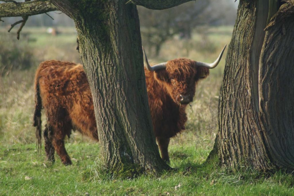 Lauwersmeer koeien